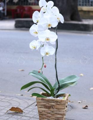 Thanh cao - D25120 - xinhtuoi.online