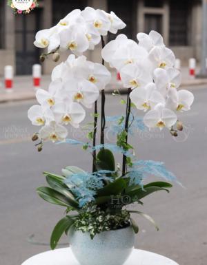 Chậu Hồ Điệp Tết 2020 - D79186 - xinhtuoi.online