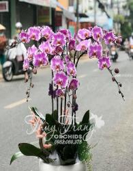 Chậu Lan Hồ điệp - xinhtuoi.online
