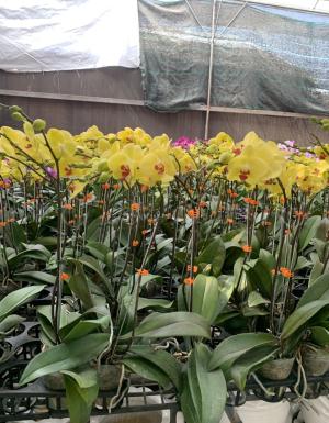 Lan Hồ Điệp Vàng V01 - D60192 - xinhtuoi.online