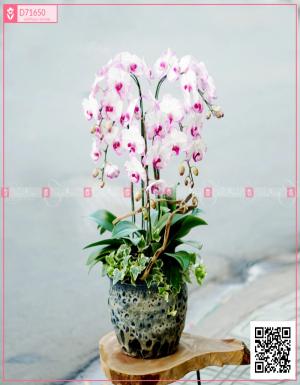 Chậu Lan Hồ điệp - D71650 - xinhtuoi.online