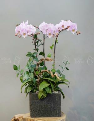 Lan Hồ Điệp 1575 - D75427 - xinhtuoi.online