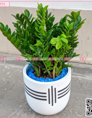 Chậu Kim Tiền - D75454 - xinhtuoi.online