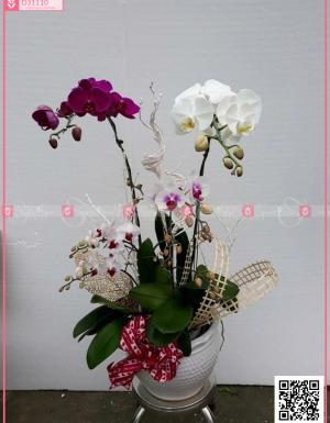 Lan hồ điệp - D31110 - xinhtuoi.online