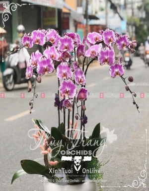 Trường kỷ - D30178 - xinhtuoi.online