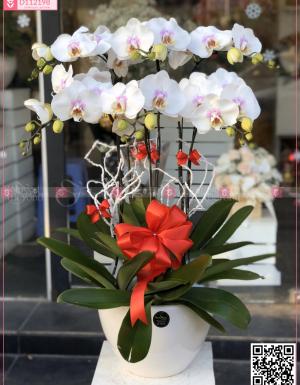 Chậu Lan Hồ điệp - D112198 - xinhtuoi.online