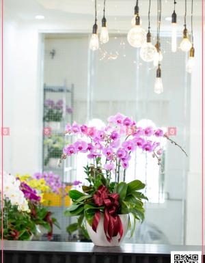 Chậu Lan Hồ điệp - D124594 - xinhtuoi.online