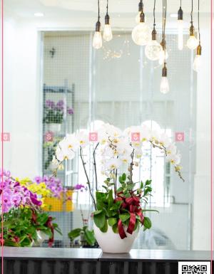 Chậu Lan Hồ điệp - D124595 - xinhtuoi.online