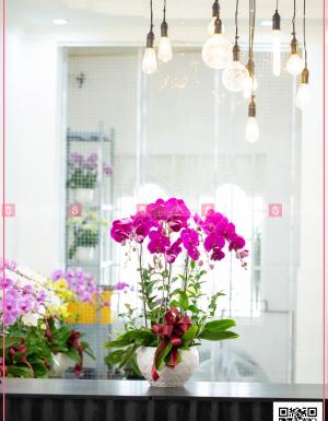 Chậu Lan Hồ điệp - D124597 - xinhtuoi.online