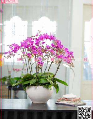 Chậu Lan Hồ điệp - D124598 - xinhtuoi.online