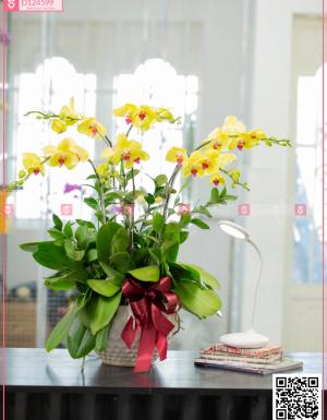 Chậu Lan Hồ điệp - D124599 - xinhtuoi.online