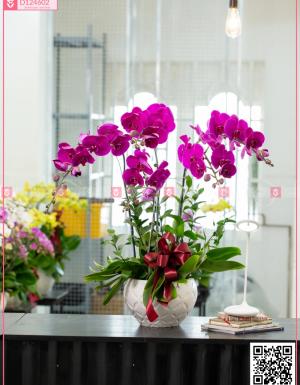 Chậu Lan Hồ điệp - D124602 - xinhtuoi.online