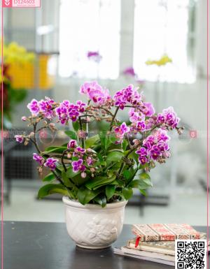 Chậu Lan Hồ điệp - D124603 - xinhtuoi.online