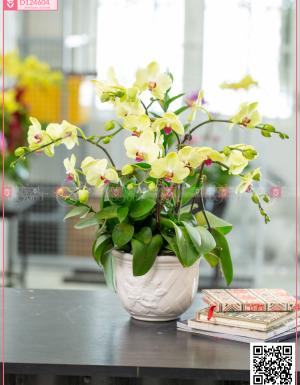 Chậu Lan Hồ điệp - D124604 - xinhtuoi.online