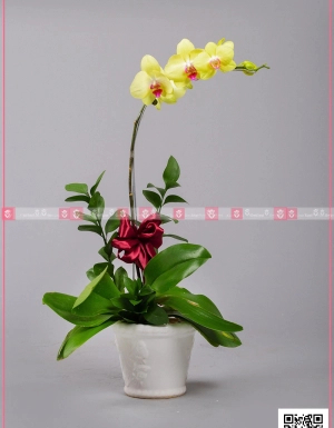 Hồ Điệp Cao Sang (01 cành) - D128746 - xinhtuoi.online