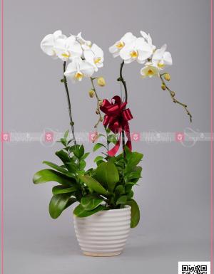 Thanh Tao (02 Cành) - D128748 - xinhtuoi.online