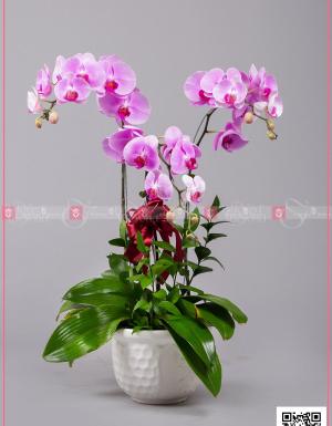 Hồ Điệp Cao Sang (03 Cành) - D128751 - xinhtuoi.online