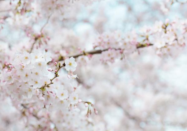 Hoa xuân trong nỗi nhớ của người con xa xứ  - Hoa 7 Ngày - xinhtuoi.online