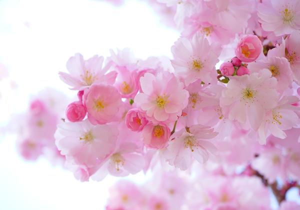 Hoa xuân đua nhau khoe nở trên khắp mọi miền tổ quốc- Hoa 7 Ngày - xinhtuoi.online