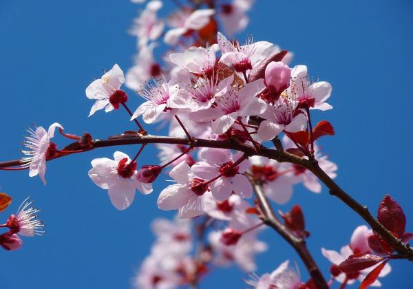 Ý nghĩa hoa đào- Vạn sự như ý- Hoa 7 Ngày - xinhtuoi.online
