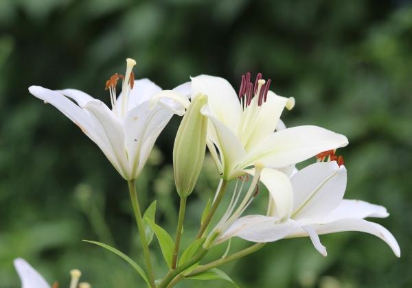 Những điều bạn chưa biết về hoa ly trắng- Hoa tết- Hoa 7 Ngày - xinhtuoi.online