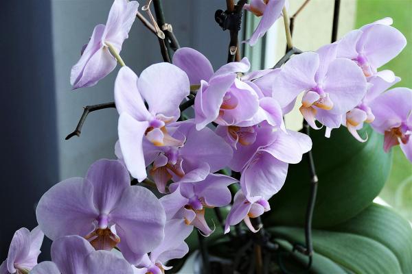 Khám phá 3 cách giữ hoa lan tươi lâu cùng Hoa 7 Ngày - xinhtuoi.online