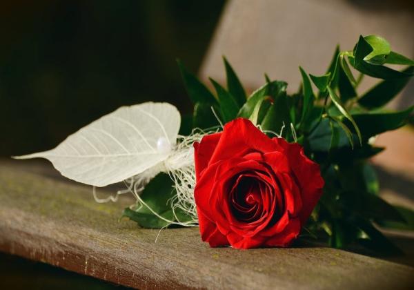 Những điều thú vị chưa biết về hoa hồng đỏ - Hoa 7 ngày - xinhtuoi.online