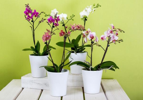 Nhanh tay  sắm ngay một chậu Hoa Lan Hồ Điệp- Hoa tết- Hoa 7 Ngày - xinhtuoi.online