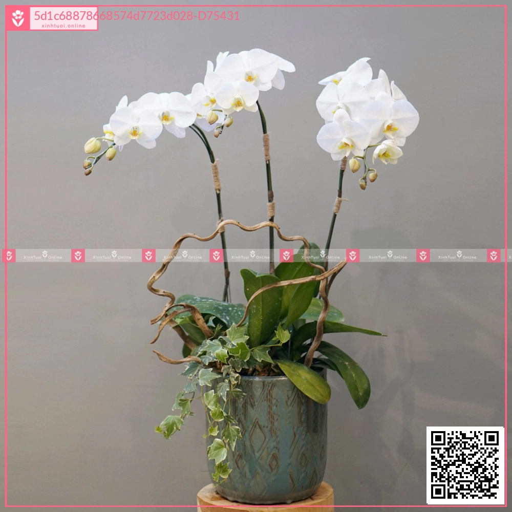 Lan Hồ Điệp 0599 - D75431 - xinhtuoi.online