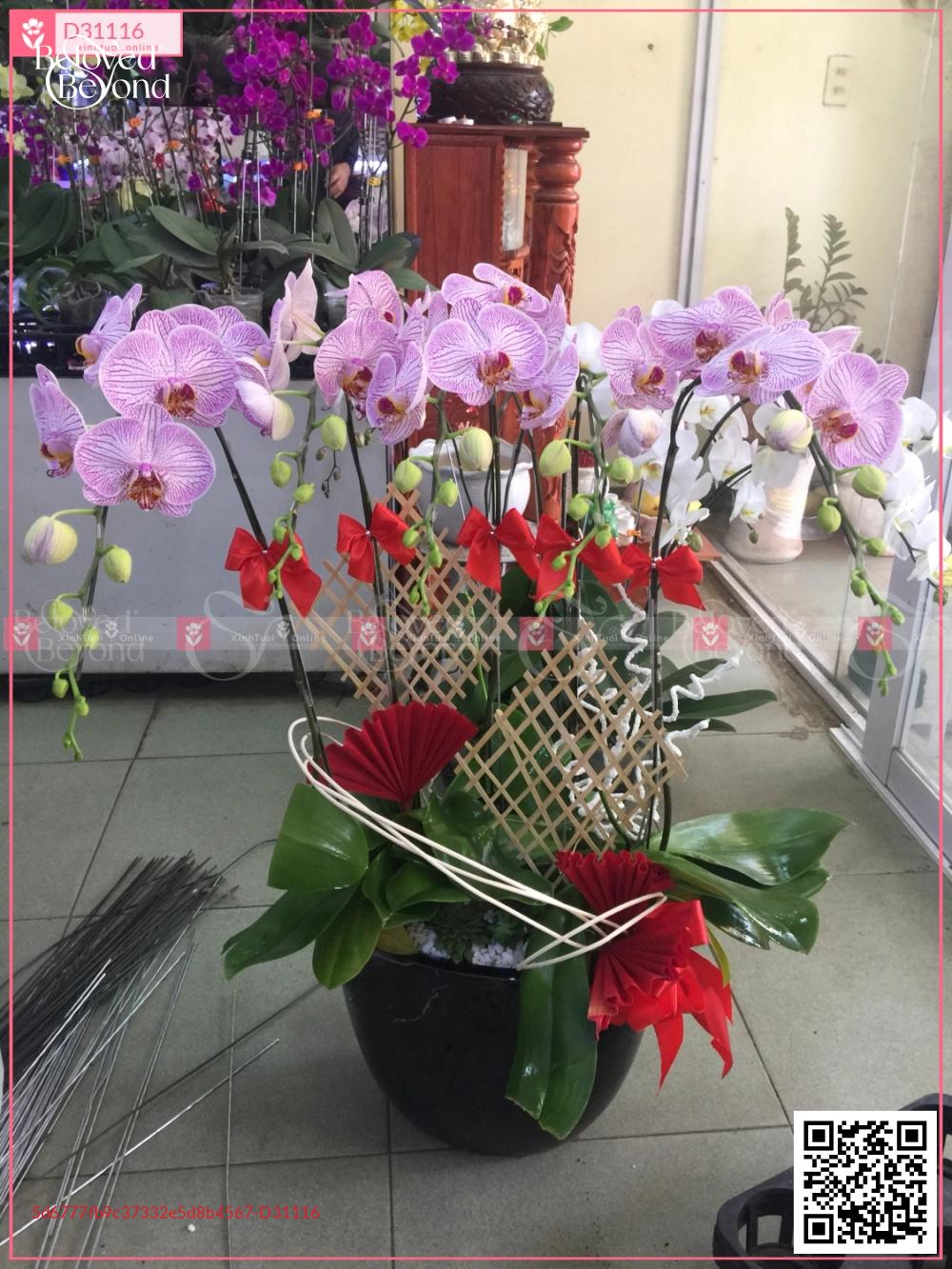Chậu Lan hồ điệp hồng sọc - D31116 - xinhtuoi.online