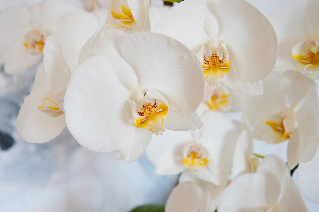 Cách phân biệt Lan Hồ Điệp và hoa Lan thường ít người biết- Xinh Tươi Online