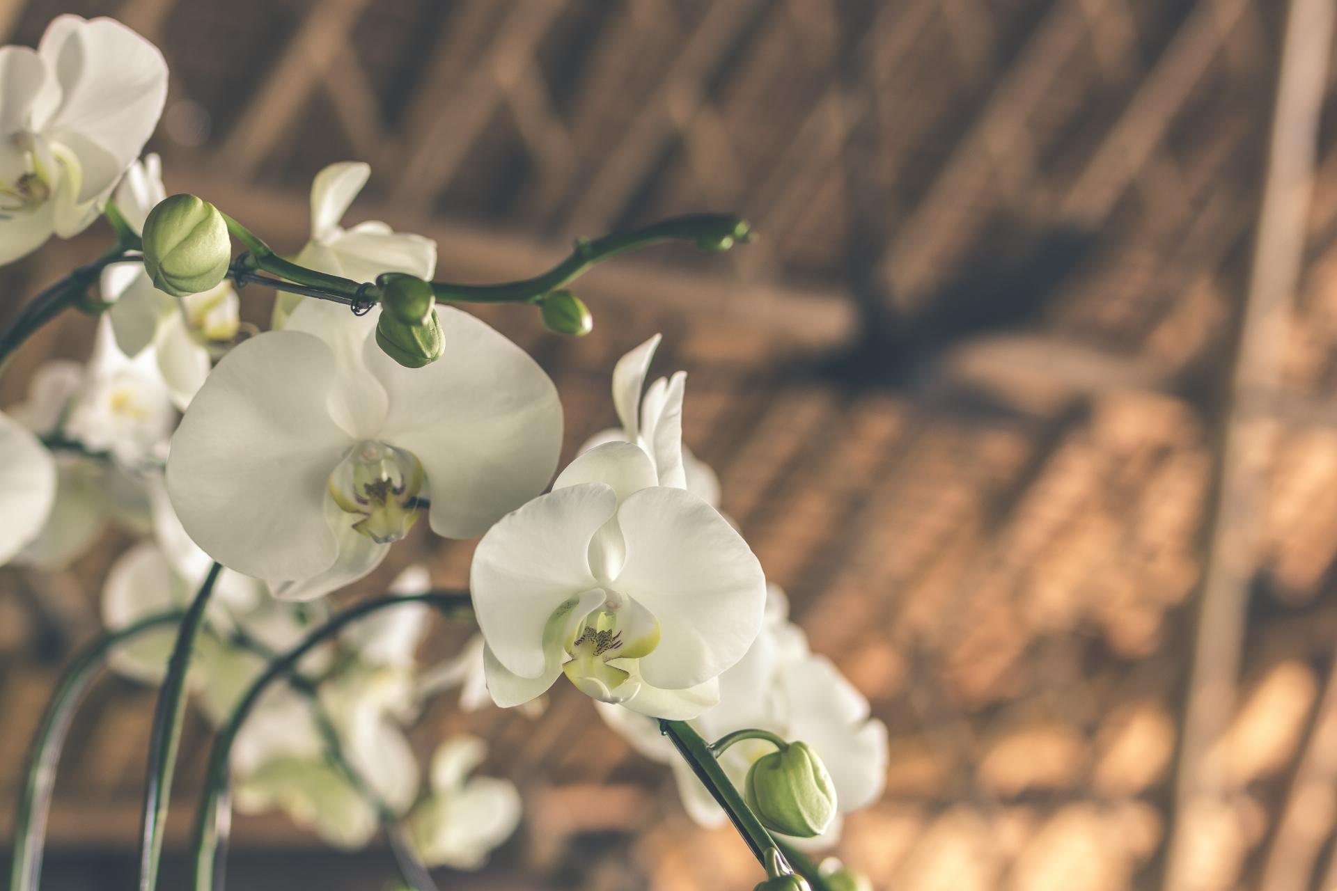 Cách chăm sóc hoa Lan Hồ Điệp ngày tết- Xinh Tươi Online