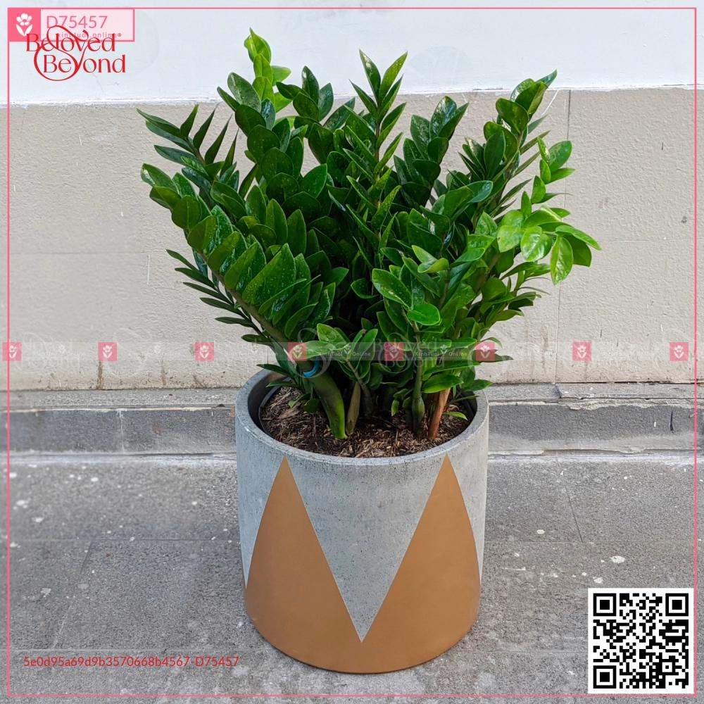 Chậu Kim Tiền - D75457 - xinhtuoi.online