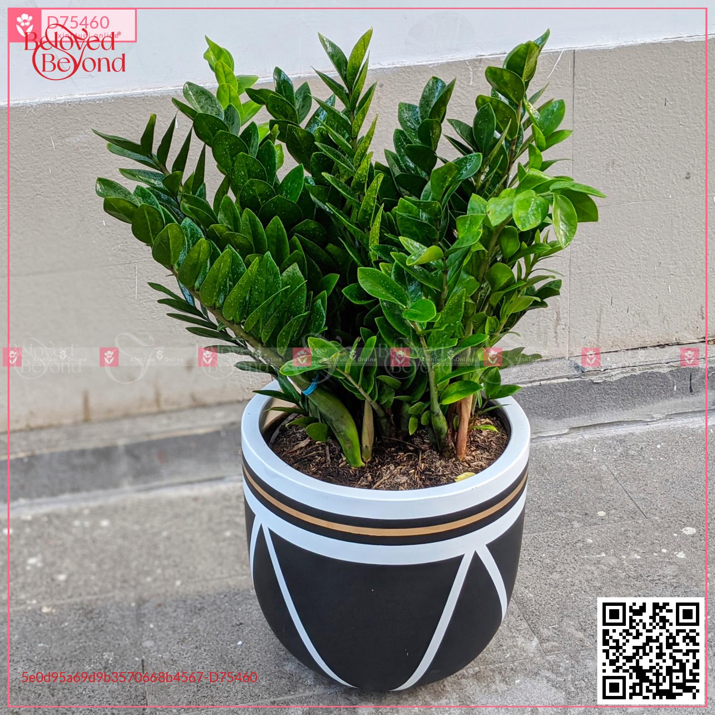 Chậu Kim Tiền - D75460 - xinhtuoi.online