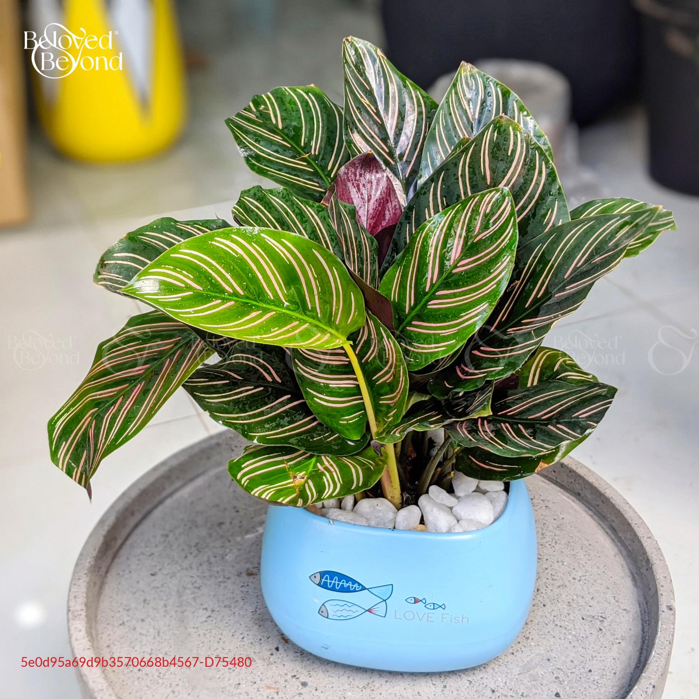 Chậu Đuôi Công - D75480 - xinhtuoi.online