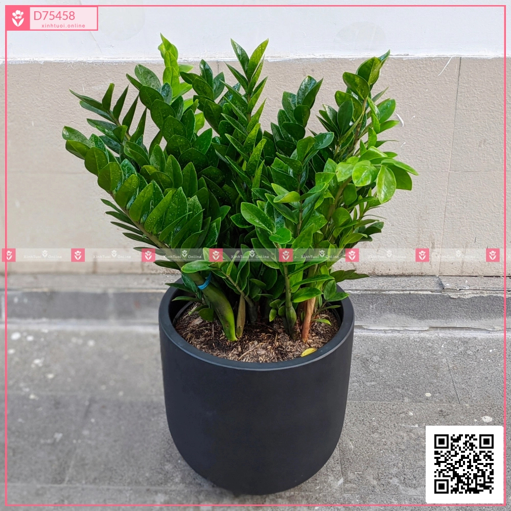 Chậu Kim Tiền - D75458 - xinhtuoi.online