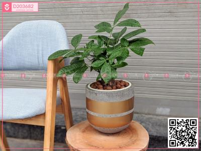 Chậu CÂY XANH - D203682 - xinhtuoi.online