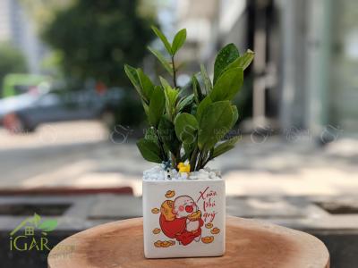 Chậu Kim Tiền mini TẾT - D583134 - xinhtuoi.online