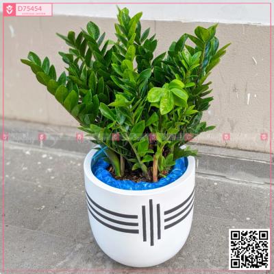 Chậu Kim Tiền - xinhtuoi.online