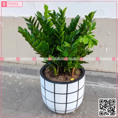 Chậu Kim Tiền - D75456 - xinhtuoi.online