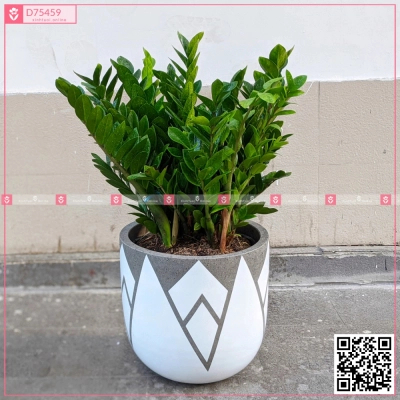 Chậu Kim Tiền - D75459 - xinhtuoi.online